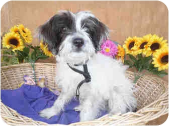 Lhasa Apso Puppy for adoption in north hollywood, California - Donut