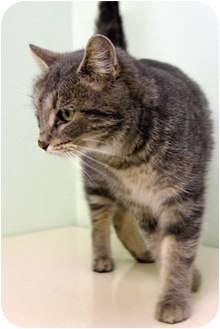Domestic Shorthair Cat for adoption in Murphysboro, Illinois - Rosita