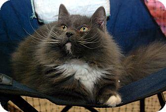 Domestic Mediumhair Cat for adoption in Alexandria, Virginia - Thunder