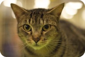 Domestic Shorthair Cat for adoption in Sacramento, California - Zena