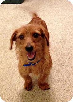 Dachshund Dog for adoption in Baton Rouge, Louisiana - Copper