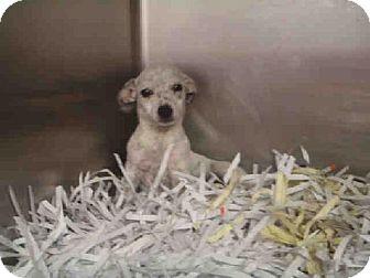 Chihuahua/Dachshund Mix Puppy for adoption in Lufkin, Texas - Yoda