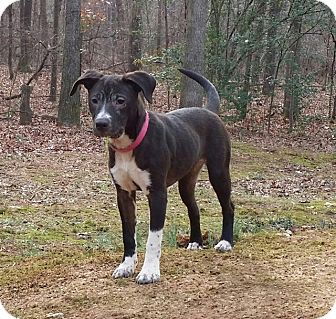 American Pit Bull Terrier Mix Puppy for adoption in Snellville, Georgia - Amora