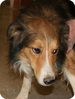 Sheltie, Shetland Sheepdog Dog for adoption in Washington, D.C. - Barley