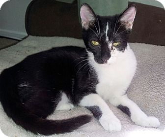 Domestic Shorthair Cat for adoption in North Highlands, California - Eevee