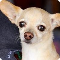 Chihuahua Mix Dog for adoption in Mesa, Arizona - Gavin