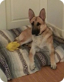 German Shepherd Dog Puppy for adoption in SCOTTSDALE, Arizona - ZEUS