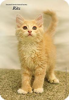 Domestic Longhair Kitten for adoption in Ortonville, Michigan - Ritz