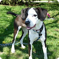 Adopt A Pet :: Shelby - Springfield, IL