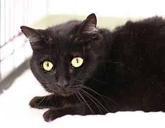Domestic Shorthair Cat for adoption in Westchester, California - Petunia