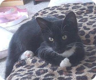 Domestic Shorthair Kitten for adoption in Haddon Twp., New Jersey - Rheia