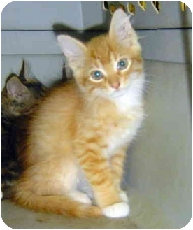 Domestic Shorthair Kitten for adoption in Montevallo, Alabama - DC