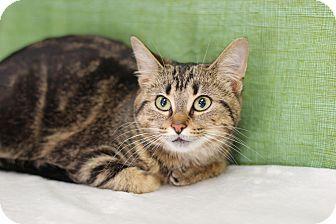 Domestic Shorthair Cat for adoption in Midland, Michigan - Debbie Jean