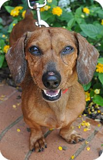 Dachshund Dog for adoption in Atlanta, Georgia - Odin