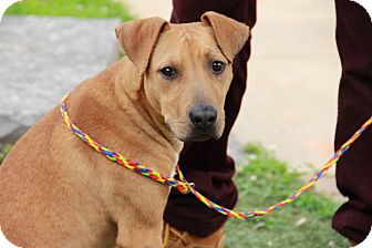 Pointer/Shepherd (Unknown Type) Mix Dog for adoption in Greensboro, North Carolina - Alex the Great