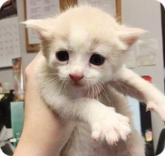 Domestic Shorthair Kitten for adoption in Lincolnton, North Carolina - Flint