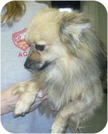 Pomeranian Mix Dog for adoption in West Warwick, Rhode Island - Simba