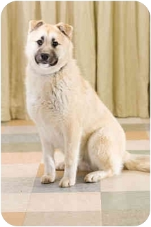 Anatolian Shepherd Mix Dog for adoption in Portland, Oregon - Pepsi