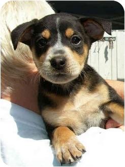 Australian Shepherd/German Shepherd Dog Mix Puppy for adoption in El Segundo, California - Easton