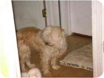 Maltese/Terrier (Unknown Type, Small) Mix Dog for adoption in sophia, North Carolina - Muffy