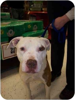 American Pit Bull Terrier Mix Dog for adoption in Detroit, Michigan - Macy
