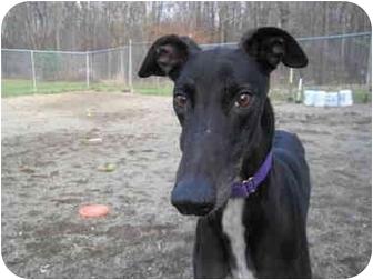 Greyhound Dog for adoption in Chagrin Falls, Ohio - Elvis (Elvis Lives)