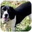 Photo 2 - Beagle/Spaniel (Unknown Type) Mix Dog for adoption in Pawling, New York - PICKLES