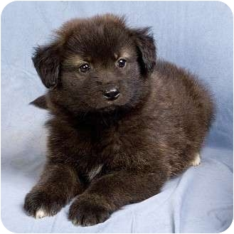 Chow Chow/Collie Mix Puppy for adoption in Anna, Illinois - TABITHA
