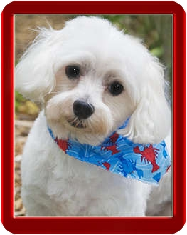 Maltese Dog for adoption in North Palm Beach, Florida - Samy