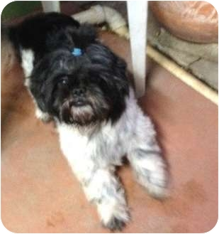 Shih Tzu Dog for adoption in Miami, Florida - Sissy