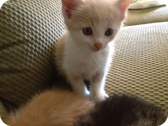 Domestic Shorthair Kitten for adoption in Xenia, Ohio - Snowball