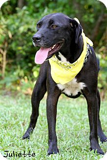 Labrador Retriever/Great Dane Mix Dog for adoption in Wilmington, Delaware - Juliette