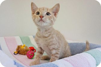 Domestic Shorthair Cat for adoption in Houston, Texas - Fred