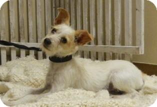 Terrier (Unknown Type, Small) Mix Dog for adoption in Columbus, Nebraska - Razzle