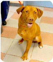 Vizsla Mix Dog for adoption in Richmond, Virginia - Val