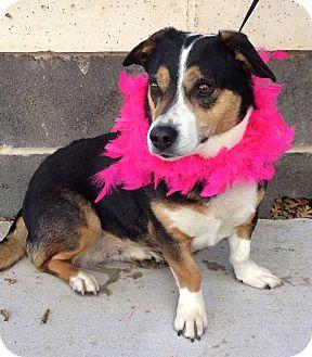 Cardigan Welsh Corgi Dog for adoption in Dublin, California - Sookie