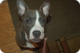 Pit Bull Terrier Mix Puppy for adoption in Southampton, Pennsylvania - Isis
