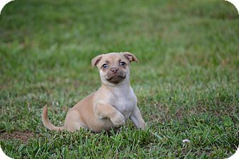 Shih Tzu/Chihuahua Mix Puppy for adoption in Wilminton, Delaware - Fiona
