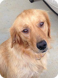 Golden Retriever Dog for adoption in Syracuse, New York - Isa