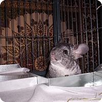 Adopt A Pet :: Stitch - Avondale, LA