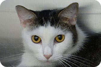 Domestic Shorthair Cat for adoption in Elyria, Ohio - Dean
