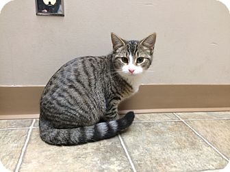Domestic Shorthair Cat for adoption in Woodstock, Ontario - Baby
