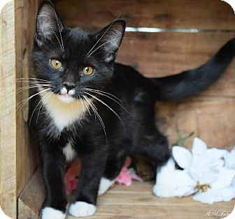 Domestic Shorthair Cat for adoption in Germantown, Maryland - Stefano