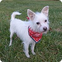 Adopt A Pet :: Bo - Mocksville, NC