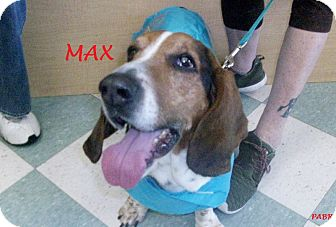 Basset Hound Dog for adoption in Ventnor City, New Jersey - MAX