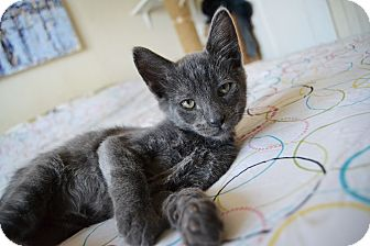 Russian Blue Kitten for adoption in Brooklyn, New York - Smiles