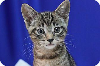 Domestic Shorthair Kitten for adoption in Midland, Michigan - Vandor