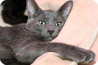 Domestic Shorthair Kitten for adoption in Royal Oak, Michigan - PEARL