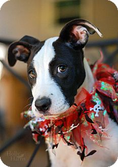 American Staffordshire Terrier Mix Puppy for adoption in Baton Rouge, Louisiana - juniper