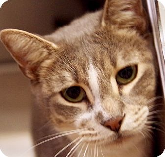 Domestic Shorthair Cat for adoption in Daytona Beach, Florida - Simon